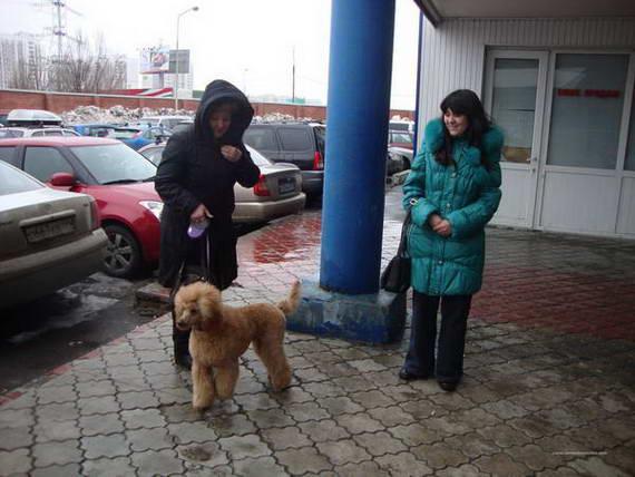 """Пудели фото 20 2012-04-07 """" Норд"""" и """"Профессионал"""" г. Москва."""