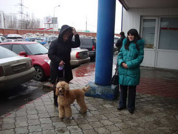 """Пудели фото 21 2012-04-07 """" Норд"""" и """"Профессионал"""" г. Москва."""