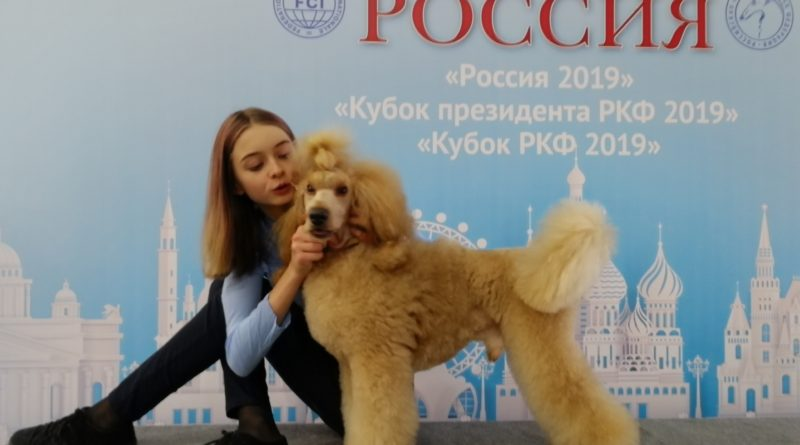Пудели фото 4 РОССИЯ-2019, Дон Амиго'c.