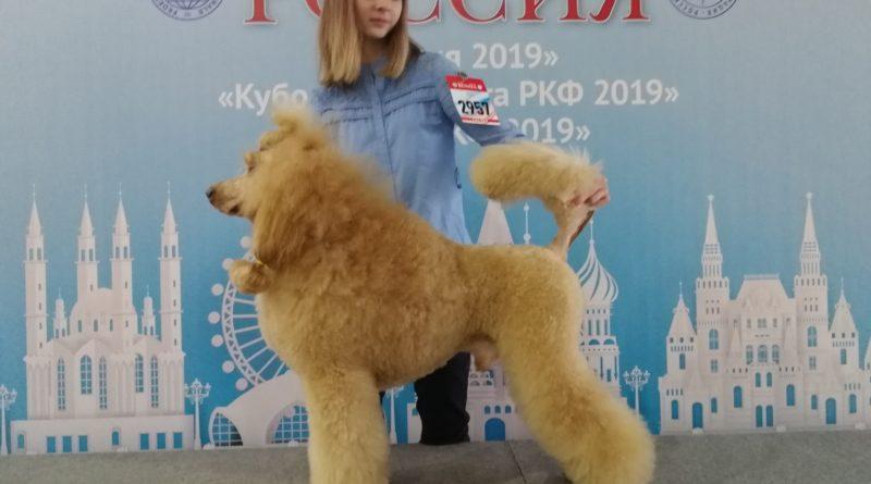 Пудели фото 8 РОССИЯ-2019, Дон Амиго'c.